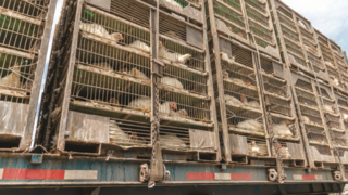הובלת תרנגולות