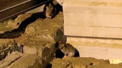 מכת עכברים